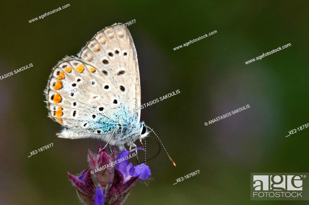 Imagen: Common Blue - Polyommatus icarus, Greece.
