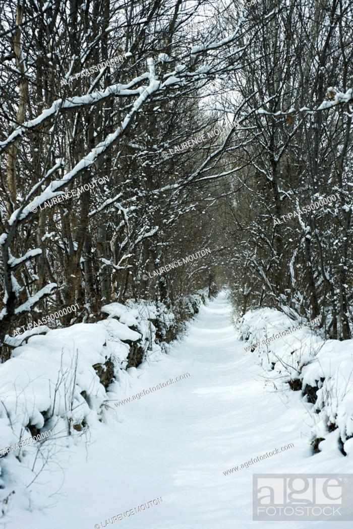 Stock Photo: Tree-lined path in snow.