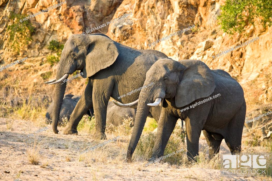 Stock Photo: African elephants (Loxodonta africana) in South Africa.
