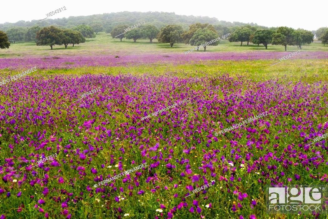 Photo de stock: Spring wildflowers. Cáceres province , Spain.