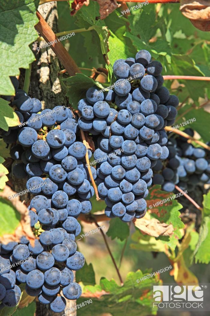 Stock Photo: France, Girode, Medoc, Bordeaux vineyards, red wine grapes.