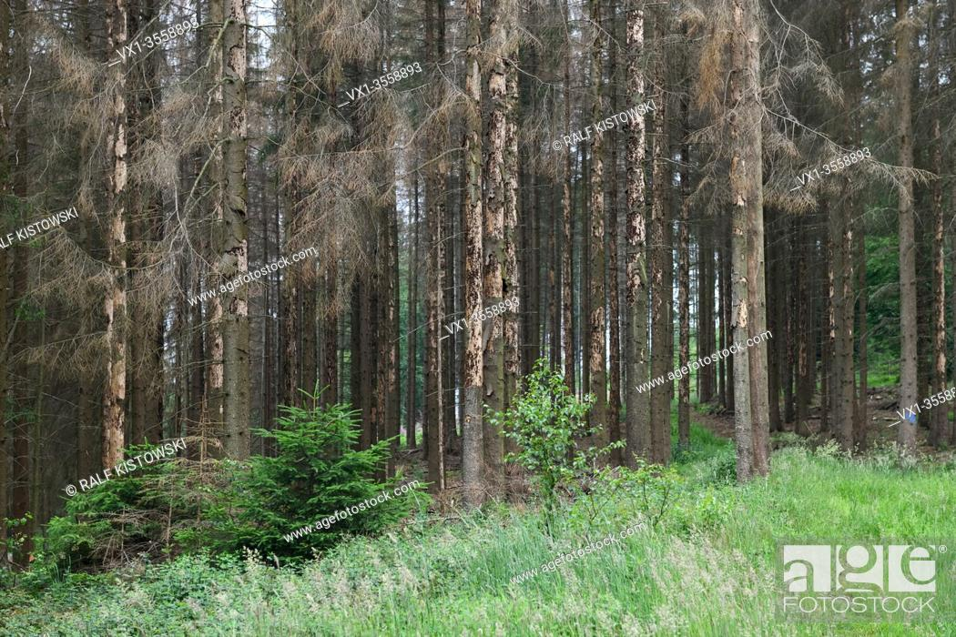 Stock Photo: Forest dieback, spruce dieback due to drought and bark beetle attack, dead trees, dead spruce, dead conifers, Sauerland, North Rhine Westphalia; Germany.