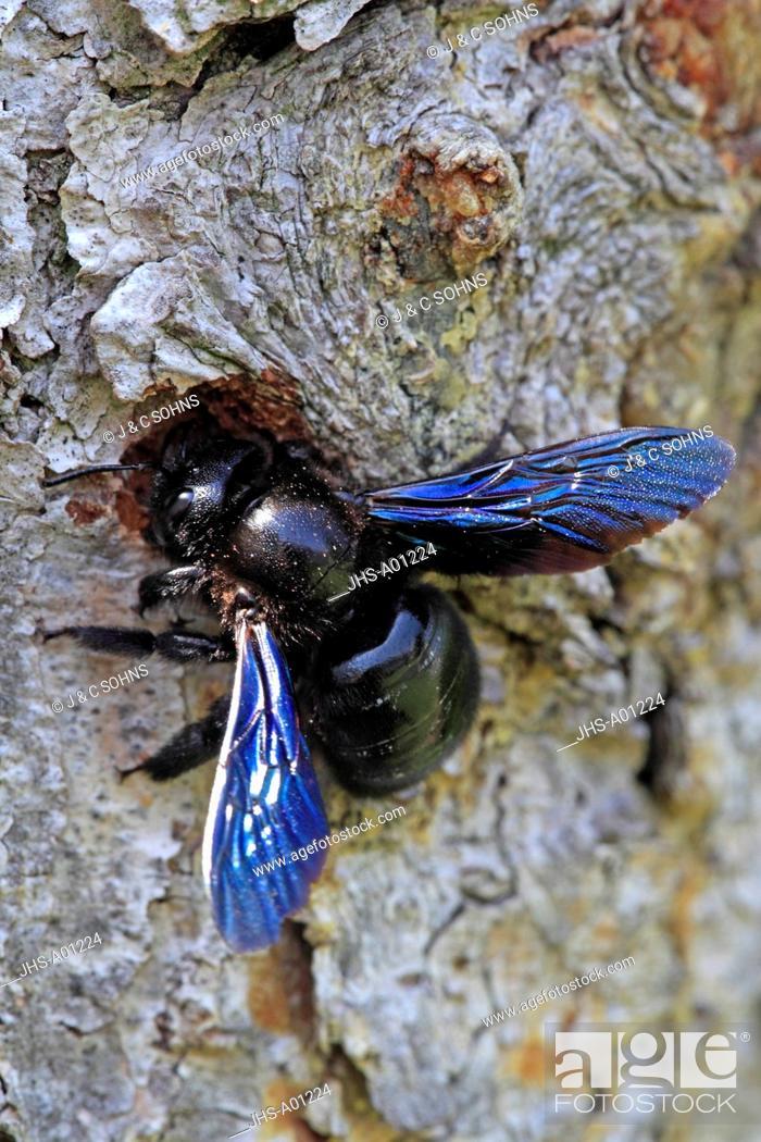 Stock Photo: Violet Carpenter Bee, Xylocopa violacea, Ellerstadt, Germany, Europe, at nest.