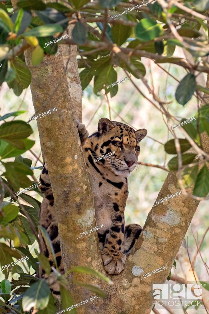 Stock Photo: South east Asia, India,Tripura state,Clouded leopard (Neofelis nebulosa).