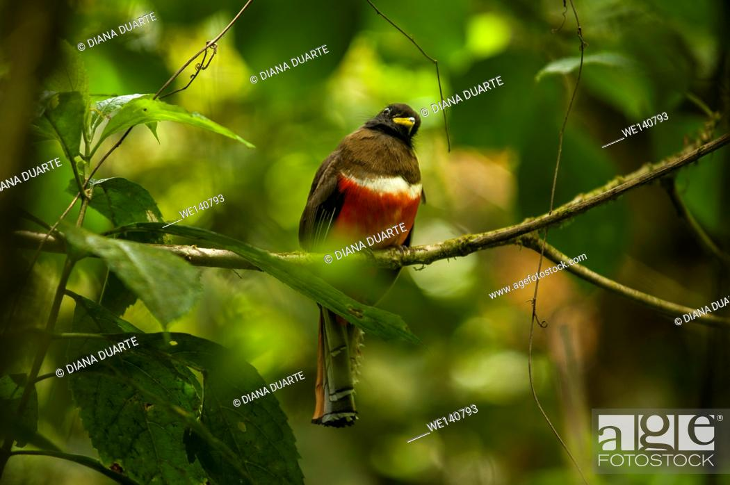 Stock Photo: 'Trogon collaris' ( Collard Trogon), Monteverde National Park, Costa Rica.