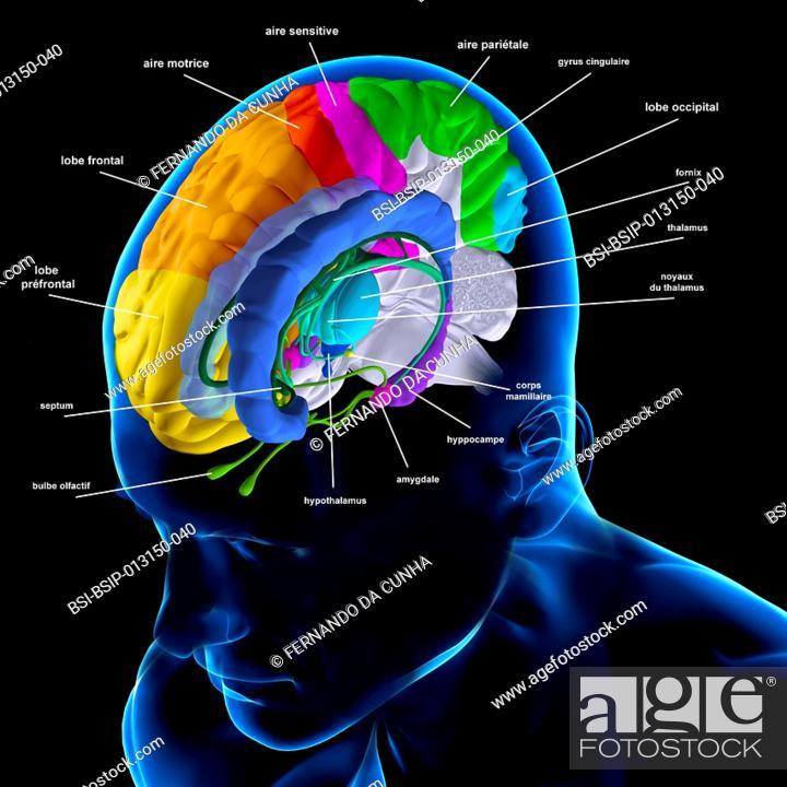 Anatomy Of The Brain The Fornix Green The Indusium Griseum Dark