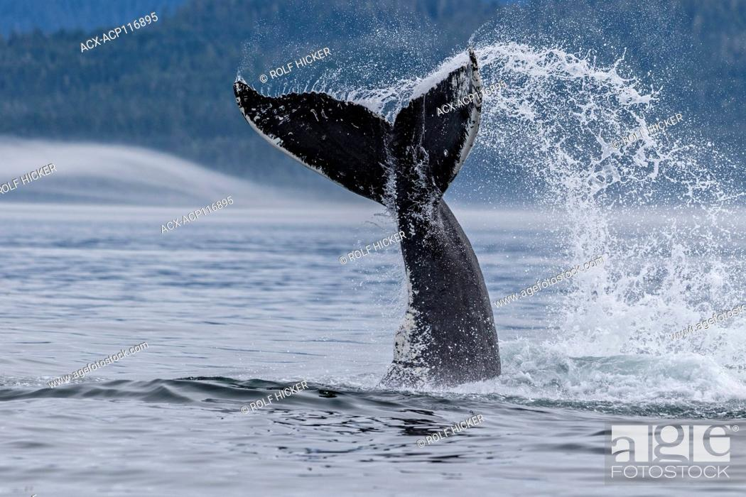 Stock Photo: Humpback whale splashing with its tail in Queen Charlotte Strait off northern Vancouver Island, British Columbia, Canada.