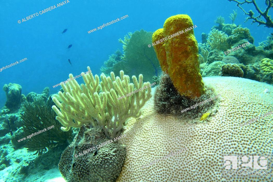 Imagen: Underwater landscape, hard coral, yellow sponge, . Coral Reef, Playa Girón, Cuba.