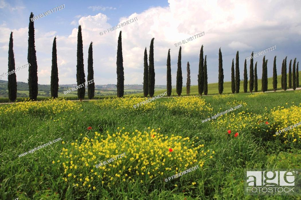 Stock Photo: hilly landscape with fallow land and cypress avenue, Italy, Tuscany.