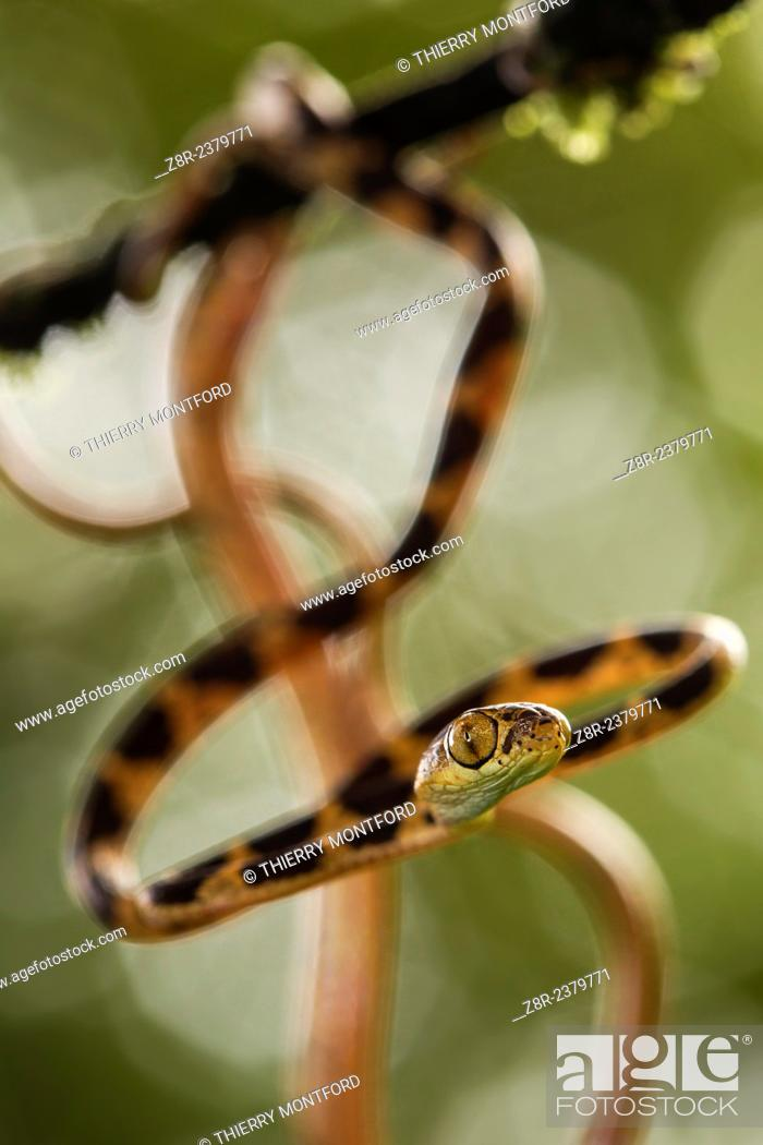 Stock Photo: Young Imantodes cenchoa - Blunthead Tree Snake - on a low branch. French Guiana.