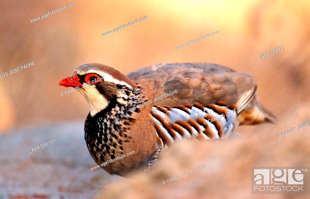 Stock Photo: Red-legged Partridge (Alectoris rufa).