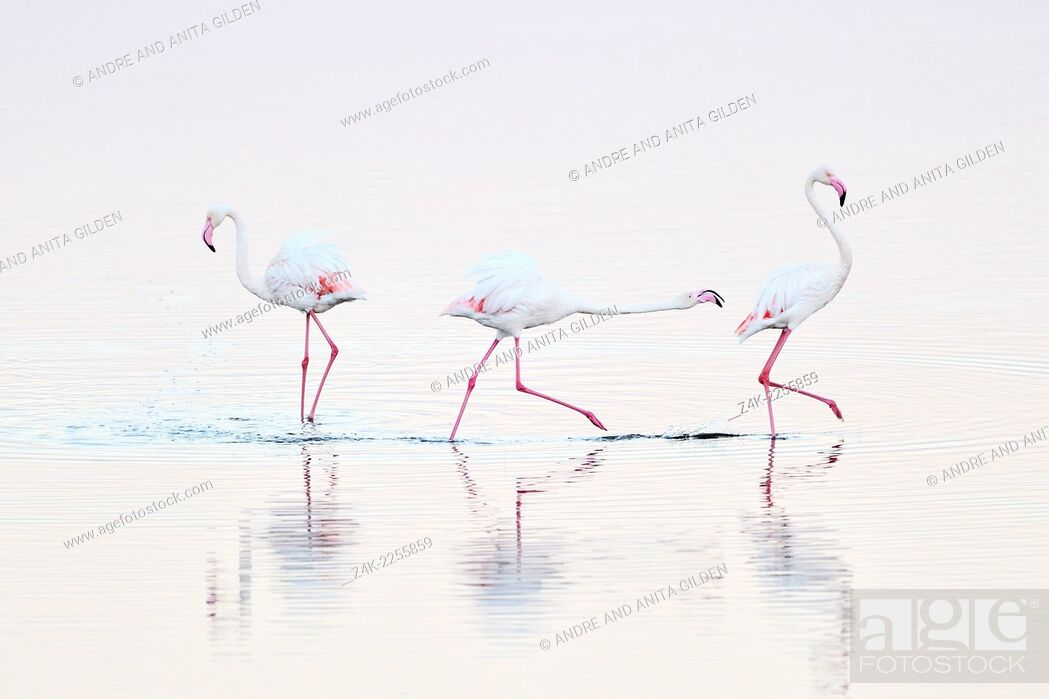 Stock Photo: Greater Flamingo (Phoenicopterus roseus) chasing away rival ( Winner 2011; Grand Prix, Festival de l'Oiseau et de la Nature Baie de Somme).
