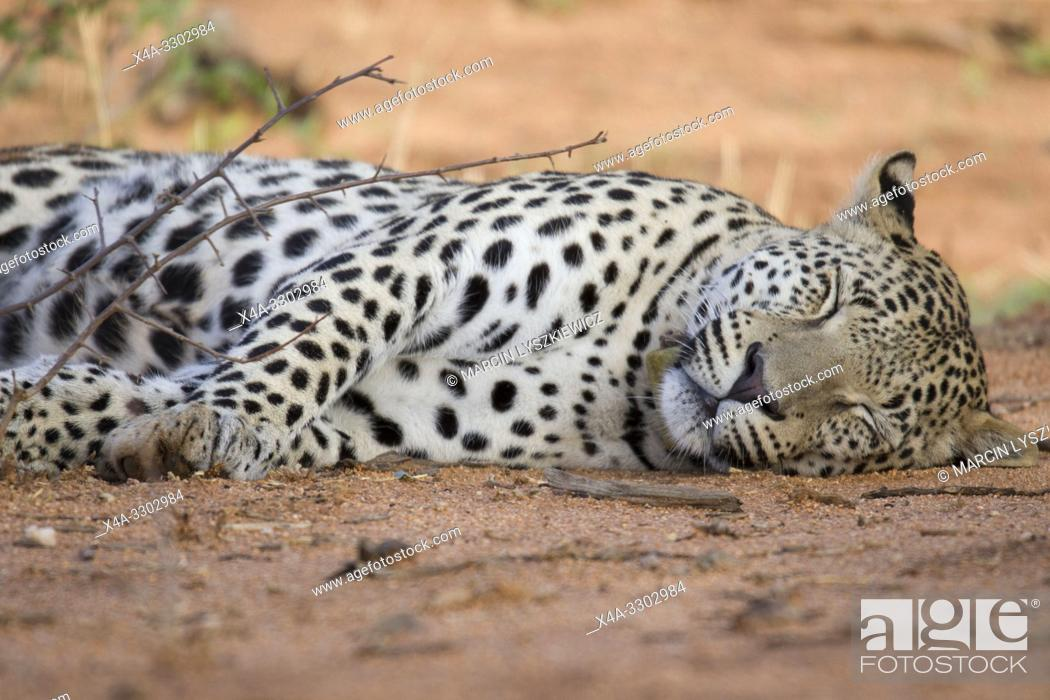 Stock Photo: Resting male leopard, Okonjima Nature Reserve, Namibia.