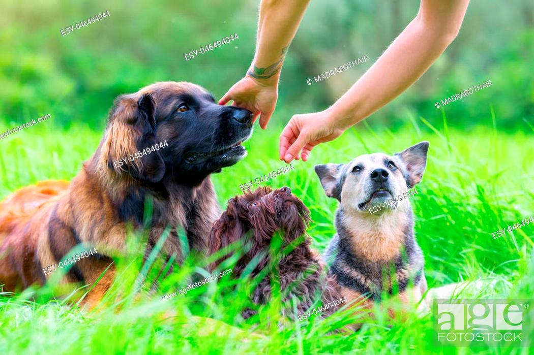 Stock Photo: woman gives her Leonberger, Havanese and Australian cattledog a treat.
