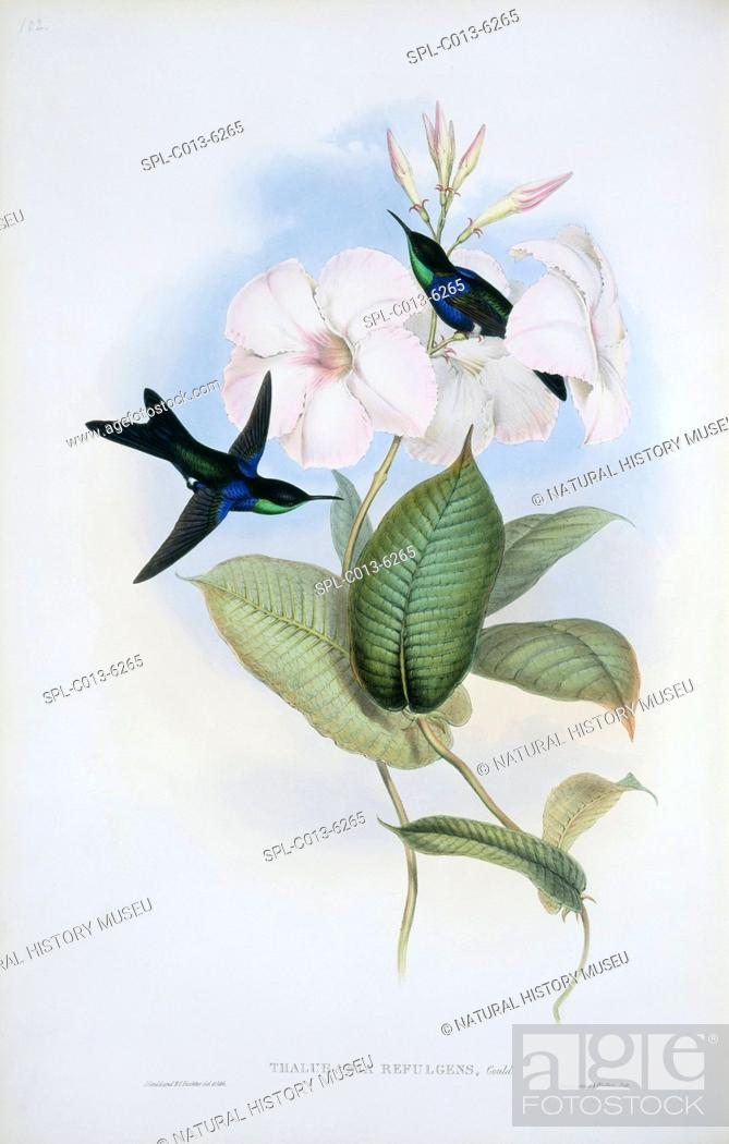 Stock Photo: Refulgent woodnymphs Thalurania refulgens. This hand-coloured lithograph is from an 1861 supplementary volume to 'A Monograph of the Trochilidae.
