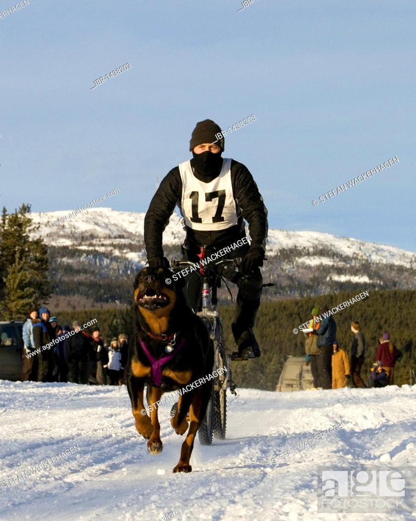 Man bikejoring, dog sport, running Rottweiler pulling a