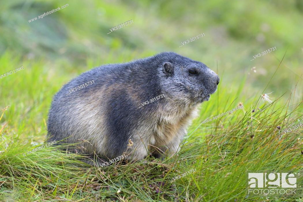 Stock Photo: Alpine Marmot, Marmota marmota, Hohe Tauern National park, Austria.