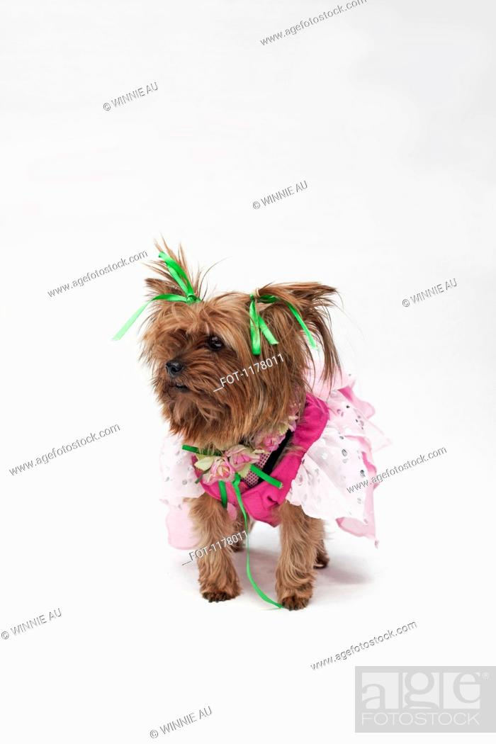 Stock Photo: A Yorkshire Terrier wearing a pink fairy costume.