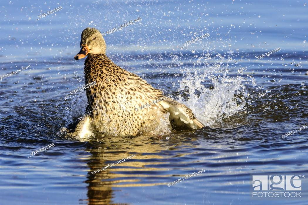Stock Photo: Female mallard, Anas platyrynchos, Burnaby Lake Regional Park, Burnaby, British Columbia, Canada.