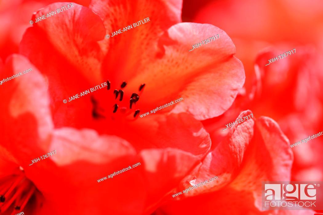 Stock Photo: Charming Red Azaleas with an Orange Flare.