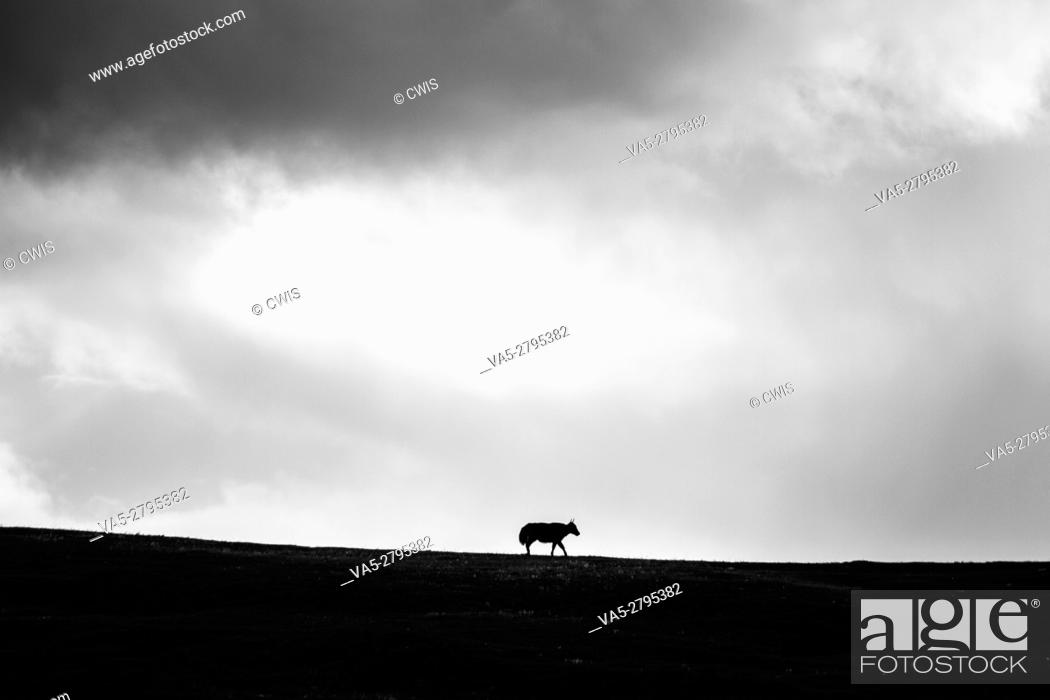 Imagen: A lonely ox on the mountain in black and white.