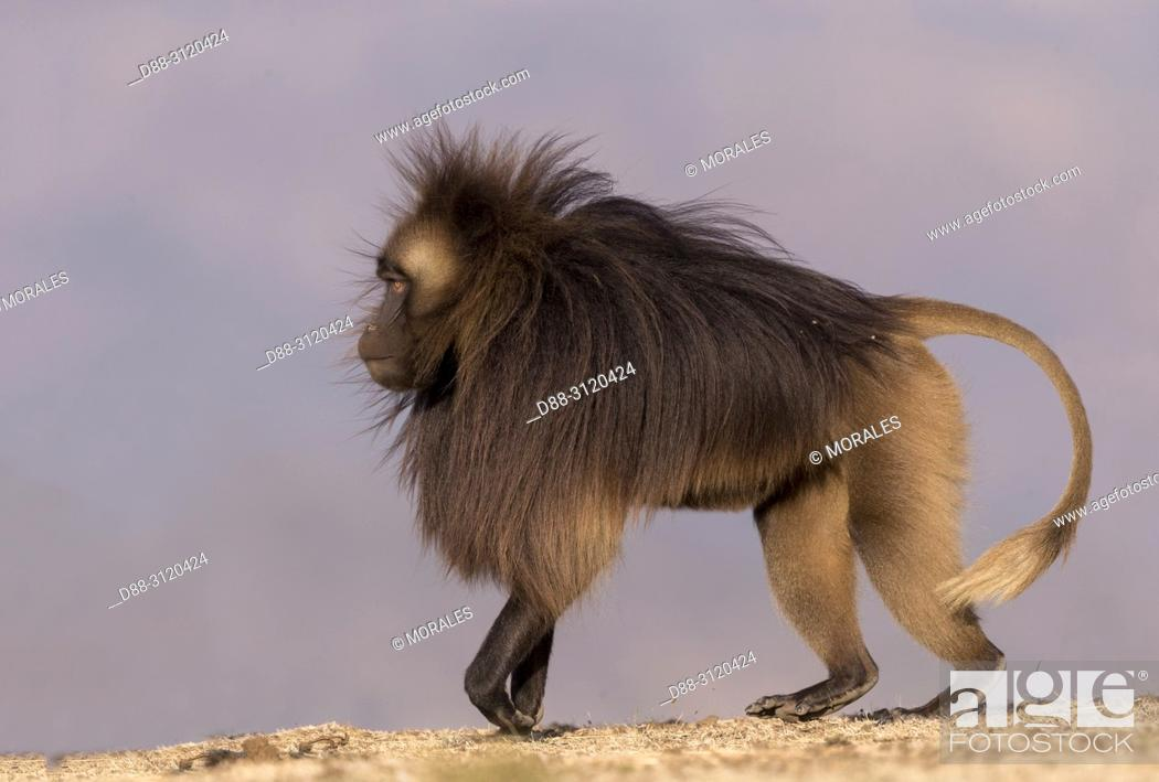 Stock Photo: Africa, Ethiopia, Rift Valley, Debre Libanos, Gelada or Gelada baboon (Theropithecus gelada), dominant male.