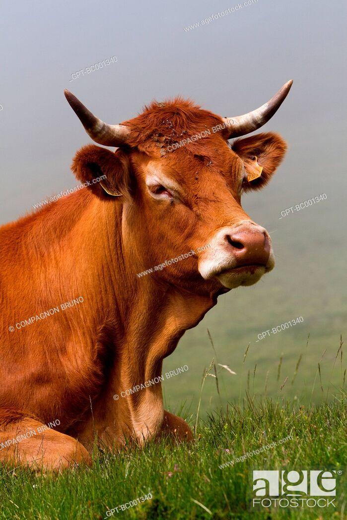 Stock Photo: LIMOUSIN COW, ESTIVE, HAUTES-PYRENEES (65), FRANCE.