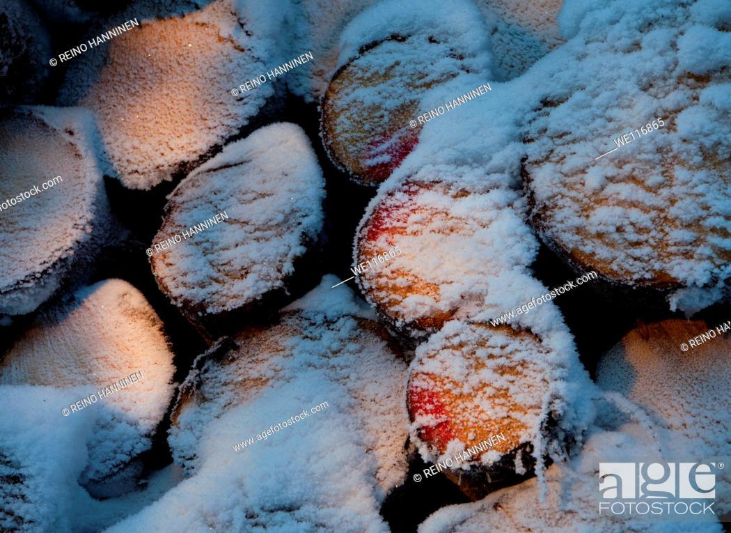 Stock Photo: Snowy spruce, picea abies, logs. Location Suonenjoki Finland Scandinavia Europe.
