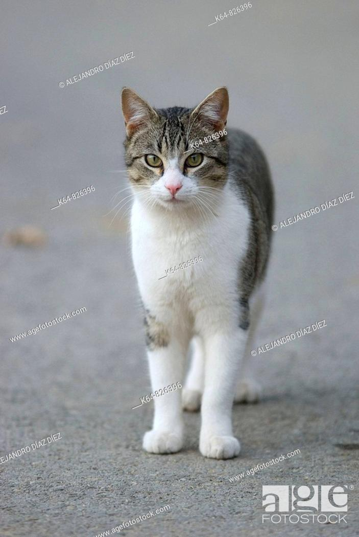 Stock Photo: Domestic cat standing and looking at cámera. Spain.