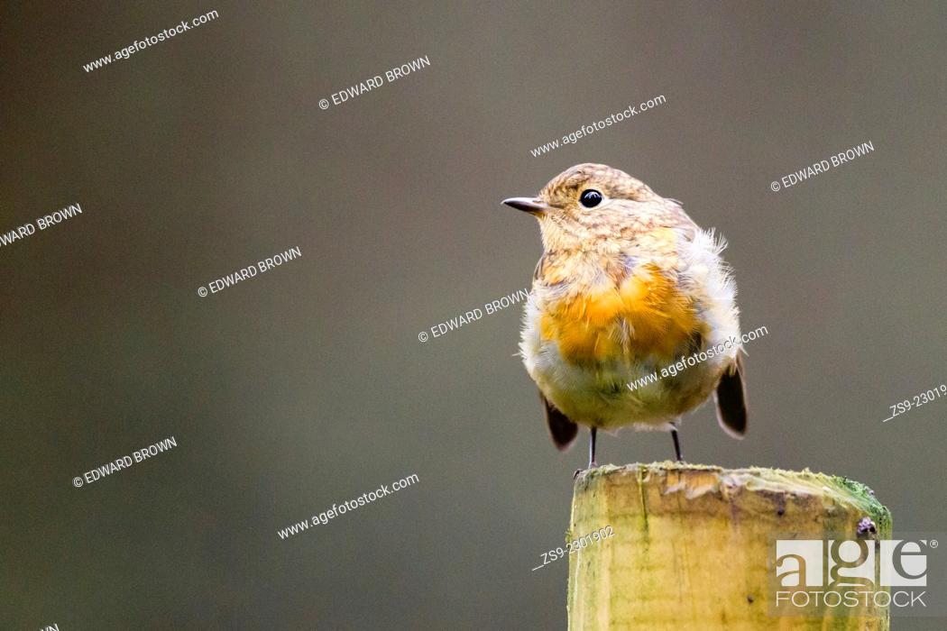 Stock Photo: Robin (Erithacus rubecula) Scotland, UK.