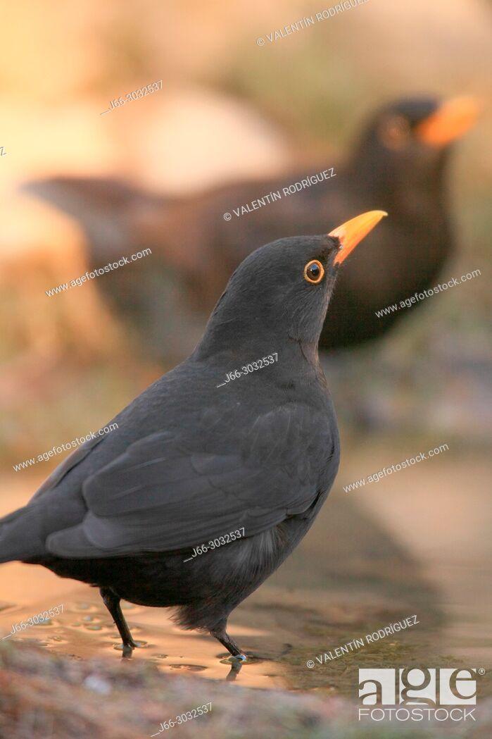 Stock Photo: Blackbird (Turdus merula) male in the Los Serranos region. Valencia.