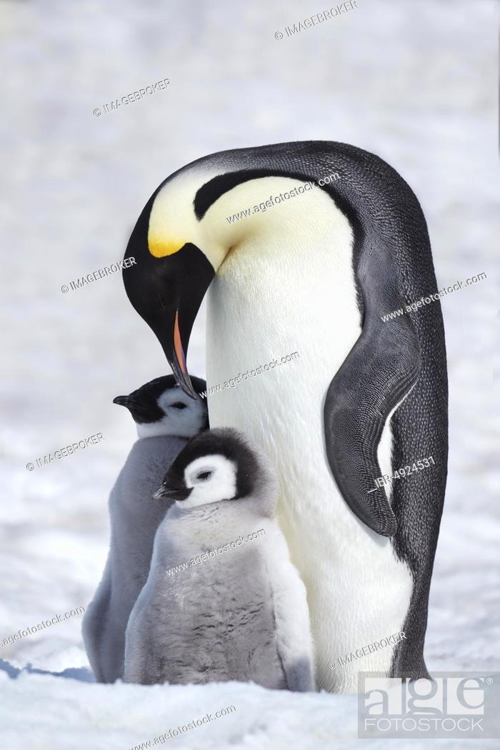 Stock Photo: Emperor penguins (Aptenodytes forsteri), dam with chicks on ice, Snow Hill Island, Weddell Sea, Antarctica.
