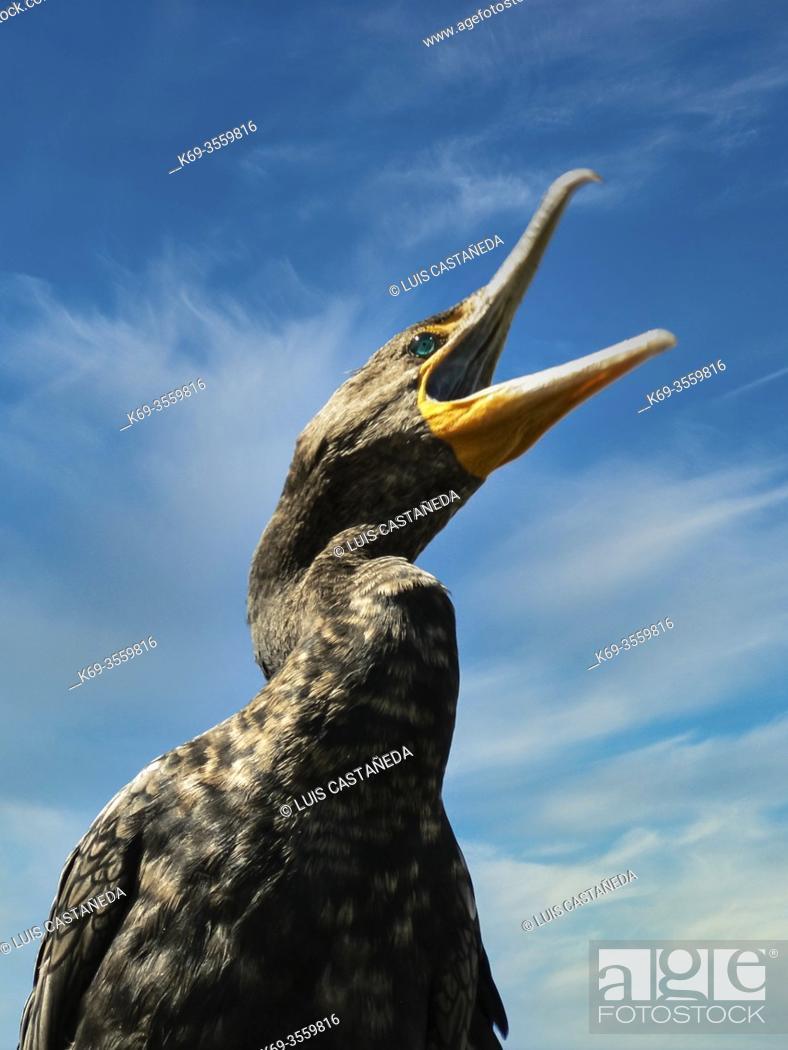 Stock Photo: Cormorant (Phalacrocorax auritus) . The Everglades National Park. . Florida. USA.