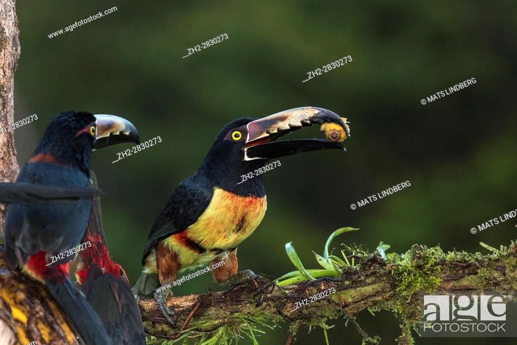 Stock Photo: Two Collared Aracari, Pteroglossus torquatus, sitting in a tree, one having banana in the beak, the other looking at the other bird, at Laguna del Lagarto.