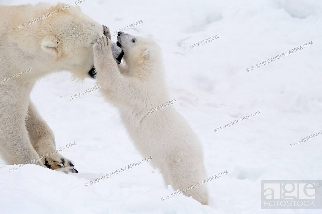 Stock Photo: Mammal. Polar Bear in snow, playing with its 4 month old cub.
