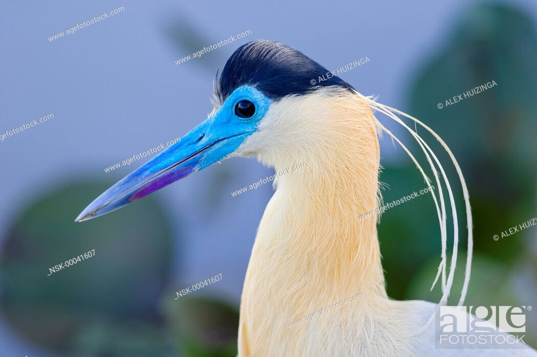 Imagen: Capped Heron (Pilherodius pileatus) portrait, Brazil, Mato Grosso, Pantanal.