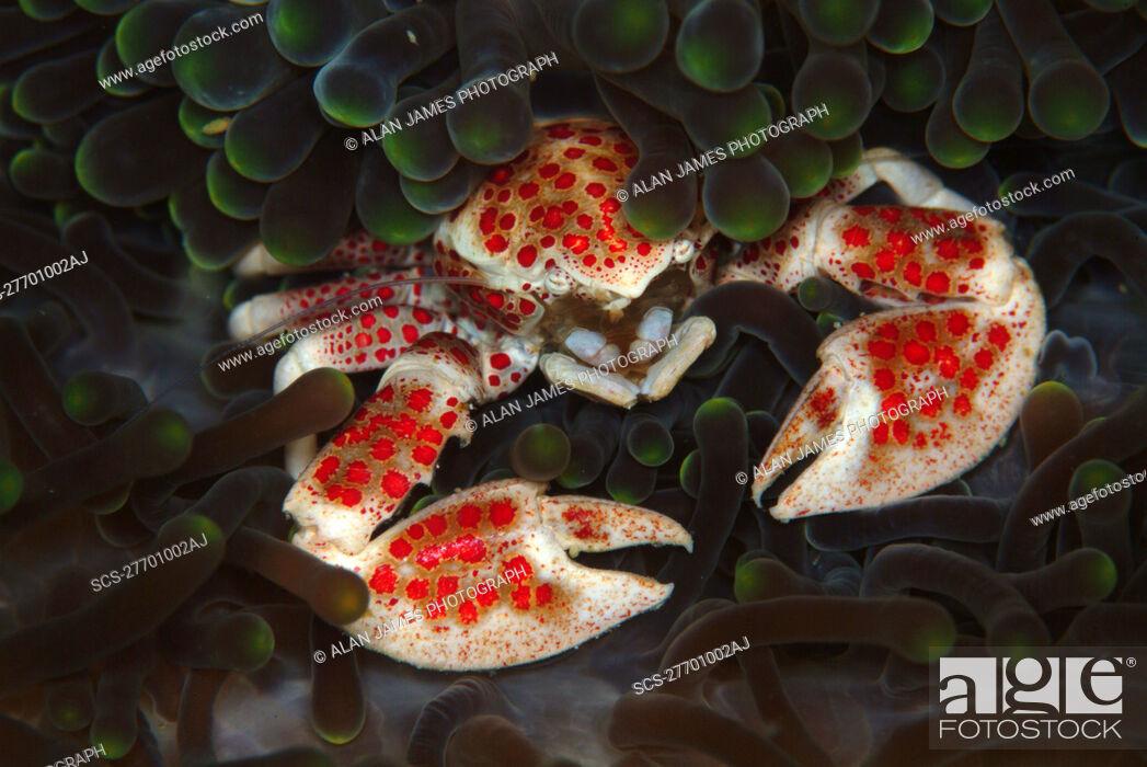 Stock Photo: Crab in Anemone Neopetrolisthes maculata Mabul, Sipadan, Borneo, Malaysia, Indo-Pacific.