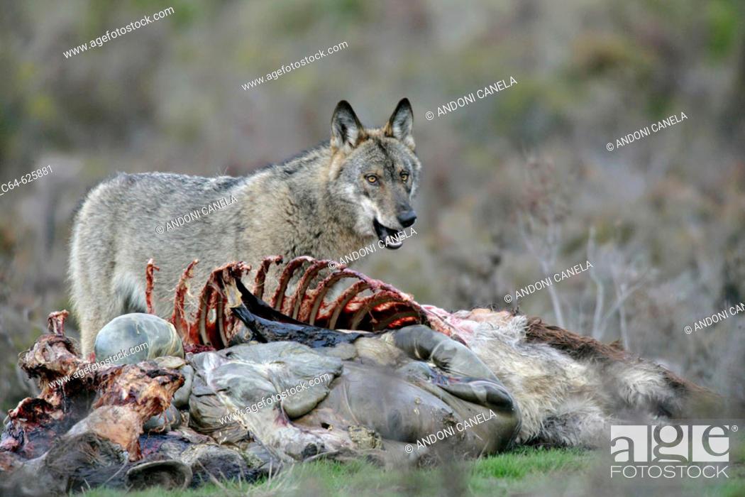 Stock Photo: Iberian wolf (Canis lupus signatus). Sierra de La Culebra. Zamora. Spain.