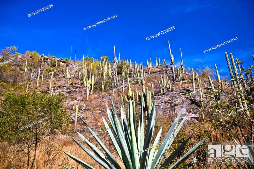 Stock Photo: Low angle view of agave plants on a hill, Hierve El Agua, Oaxaca, Oaxaca State, Mexico.