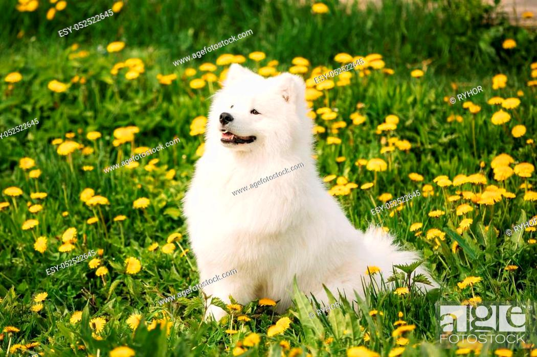 Funny Young Happy Smiling White Samoyed Dog Or Bjelkier Smiley Stock Photo Picture And Low Budget Royalty Free Image Pic Esy 052522645 Agefotostock