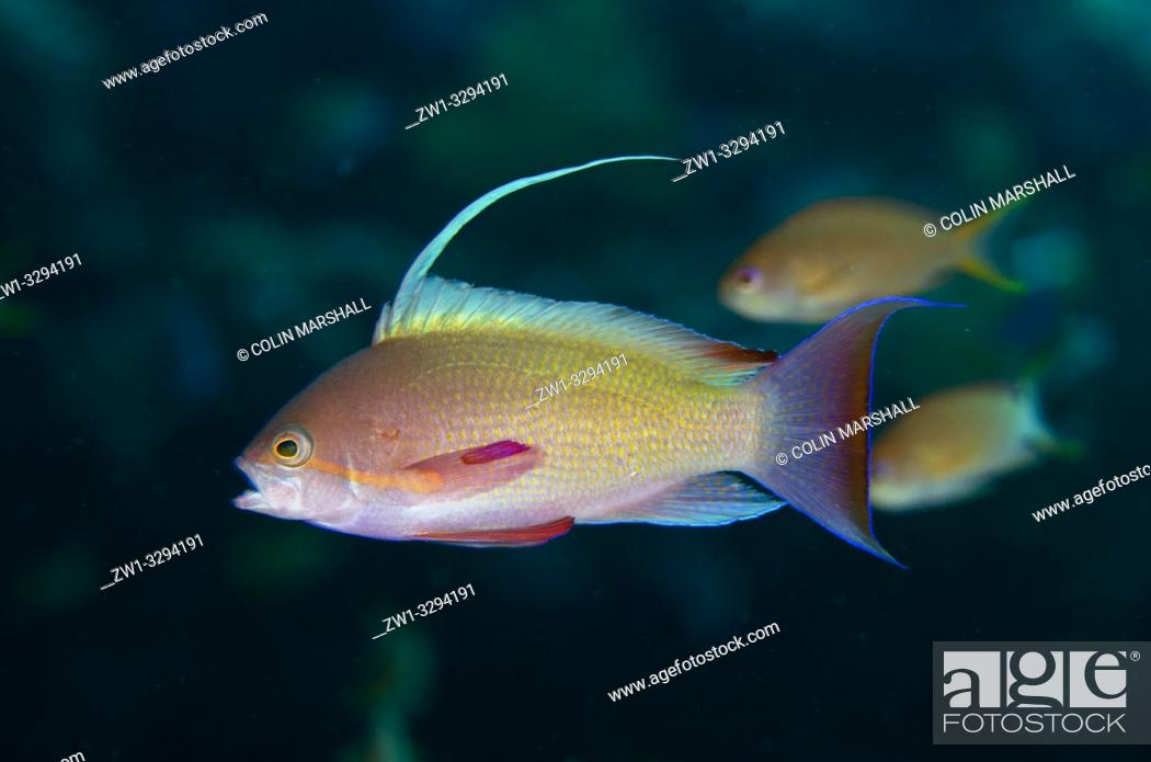 Imagen: Male Scalefin Anthias (Pseudanthias squamipinnis) with erect fin, Jemeluk Bay dive site, Amed, Bali, Indonesia.