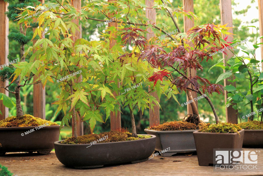 Stock Photo: Bonsai maple forest in porch container garden.