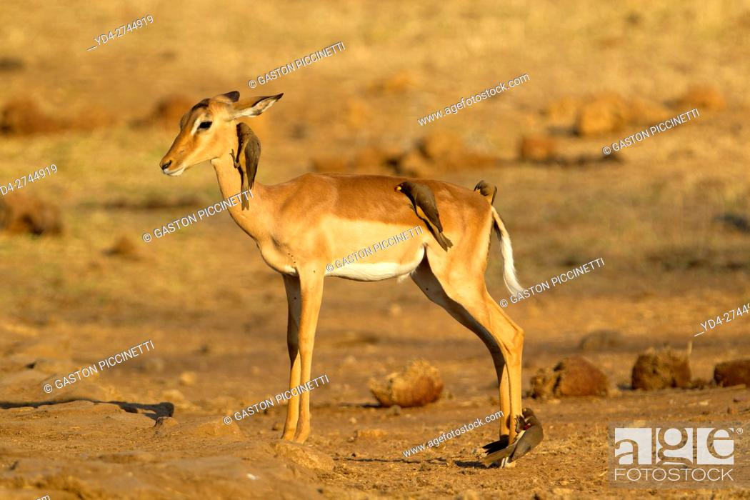 Stock Photo: Impala (Aepyceros malampus), and Redbilled Oxpeckers (Buphagus erythrorhynchus), Kruger National Park, South Africa.