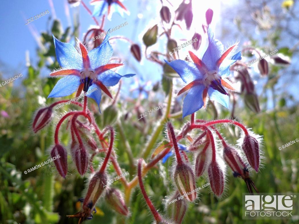 Photo de stock: Borage (Borago officinalis). Catalonia, Spain.