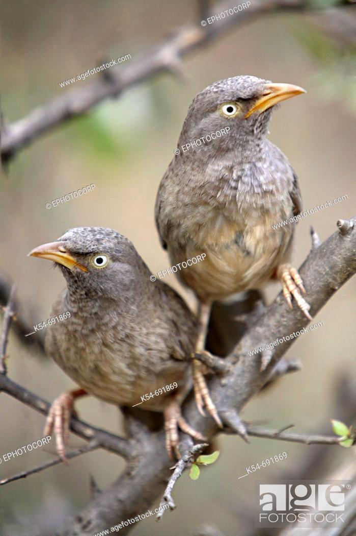 Stock Photo: A Pair of Jungle Babblers (Turdoides striatus) is a widespread resident in India, Ranthambhore, Rajasthan.