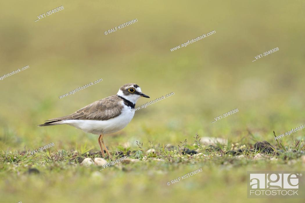 Imagen: Little Ringed Plover ( Charadrius dubius ), adult wader bird, in its typical secondary habitat, a beautiful gravelled area, wildlife, Europe.