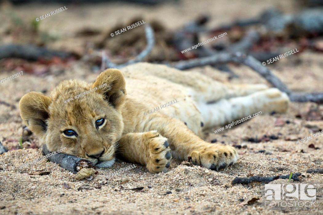 Stock Photo: A lone lion cub lying in the dirt, looking at camera.