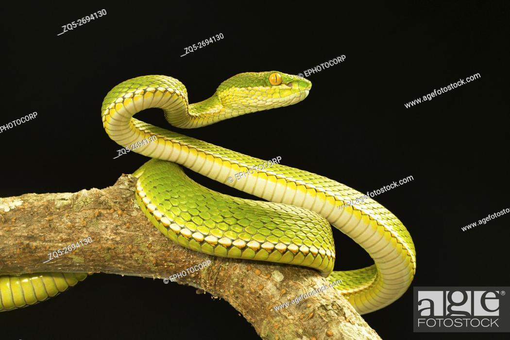 Photo de stock: Viperidae, Red tailed pit viper, Trimeresurus erythrurus, Garjee, Tripura.