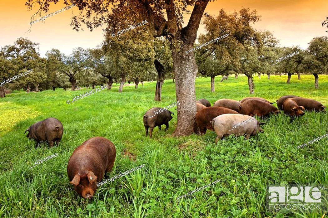 Stock Photo: Iberian porks.