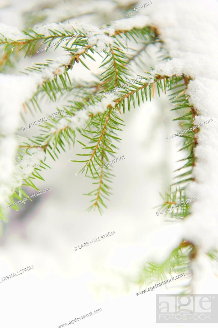 Stock Photo: Fir branches covered with snow, Sweden.